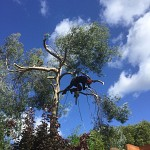 Tree surgery eucalyptus whetstone n20 london 5